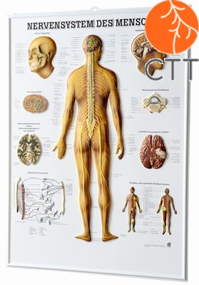 relief panel nervous system, 54 x 74cm, 3-D-poster, in German