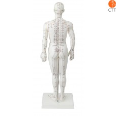 human body model, 50cm showing Meridians and acupoints