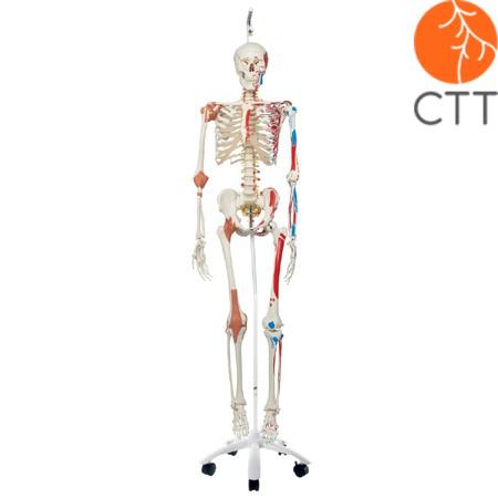 Skelett Sam A13/1 - Luxusversion an Metallhängestativ mit 5 Rollen